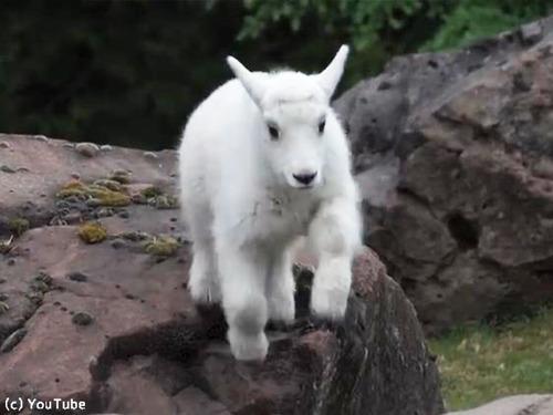 崖登りの練習をするヤギの子ども00