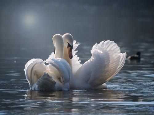 白鳥の父親がヒナたちを背中に乗せて育てる