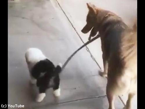子犬の散歩に付き合う犬00