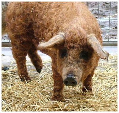 豚と羊の交配種08