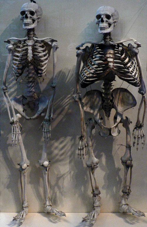 ヒトとゴリラの骨格を比べると03