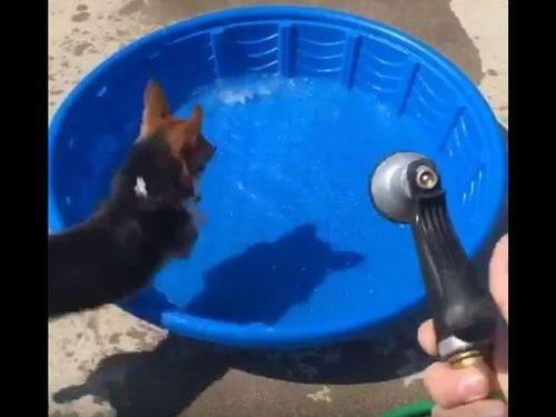 コーギー犬が新しいプールの遊び方01