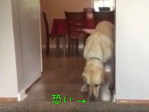 カーペット恐怖症の犬00