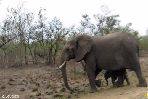赤ちゃんゾウを守る母親ゾウ10