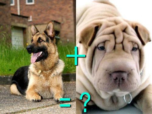 犬の混血A 13