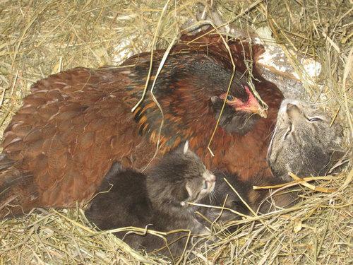 ニワトリが子猫4匹を温めてた…02