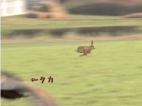 野ウサギのスピードがすごい00