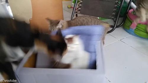 猫のおもちゃにびっくりする猫たち02