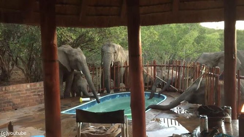 プールの水を飲む野生動物05