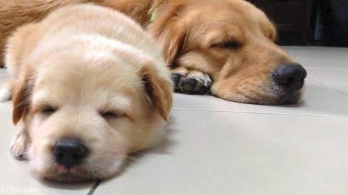 子犬が睡魔と格闘→あっさり負ける05