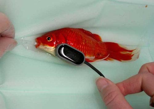 便秘の金魚01