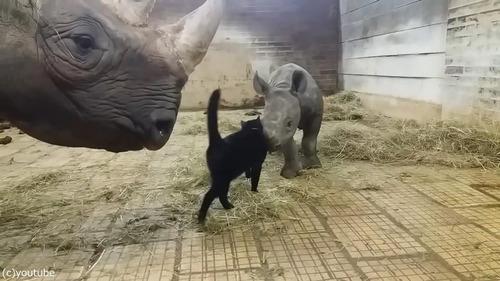 サイの赤ちゃんと猫05