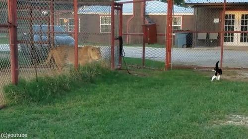 ライオンを挑発する猫07