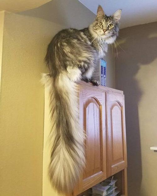 猫のしっぽが世界記録に05