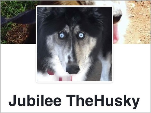 驚いた顔のハスキー犬