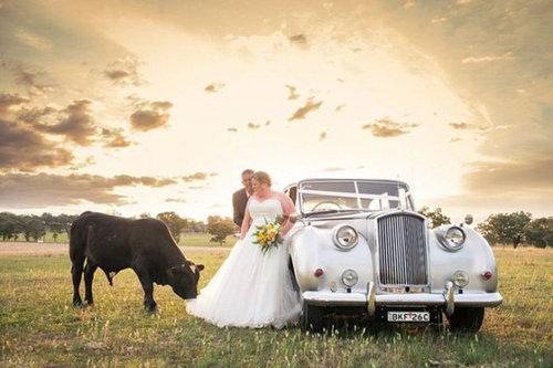 結婚写真に牛05