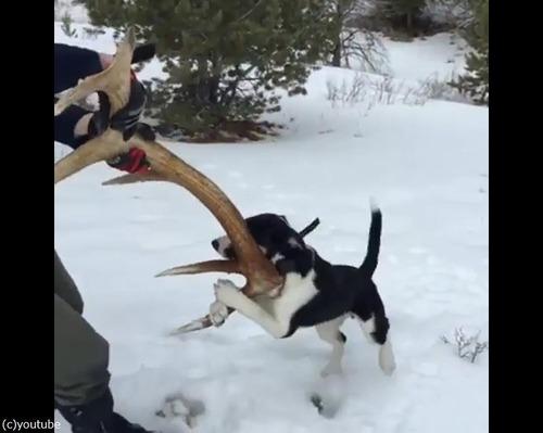 愛犬が雪の中で何か見つけたようだ…すごい執着心03