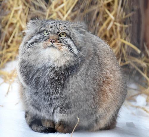 アライグマみたいな猫01