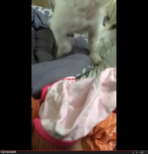 赤ちゃんにブランケットを掛けてあげる犬08