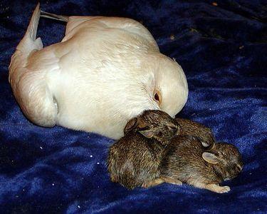 片足のハトがウサギを育てる03
