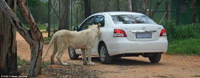 ライオンが車の扉を開けた02