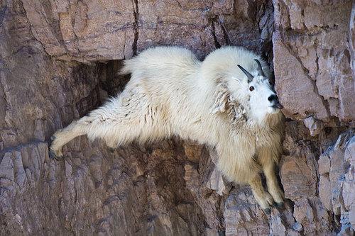 崖の上のヤギ08