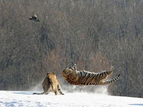 虎のジャンプ失敗03