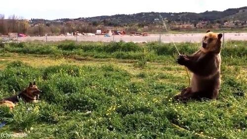 水遊びを楽しむ熊と犬01