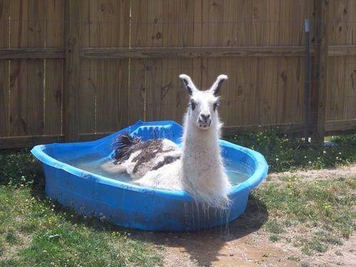 プールに動物08