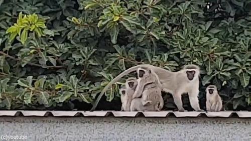 ケガした猿が家族の元へ09
