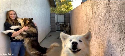 オオカミ犬、大きいけどめちゃくちゃ甘えん坊02
