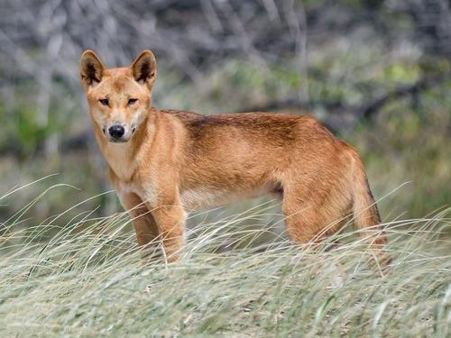 迷子の子犬、ディンゴの純血種だった00