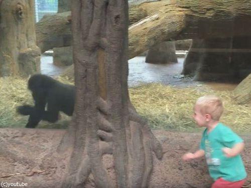 ガラス越しに人間の子供とゴリラの子供が遊ぶ06