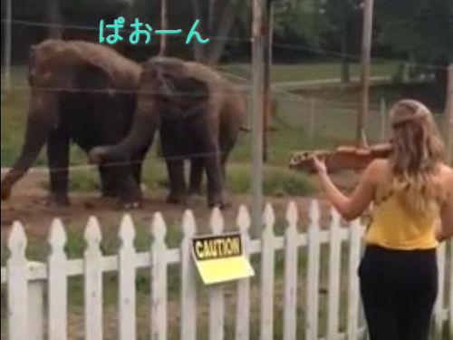 バイオリンを聴くと指揮者になりきろうとうすするゾウ2頭00