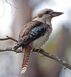 オーストラリアの鳥害03