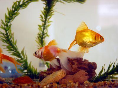 巨大金魚00