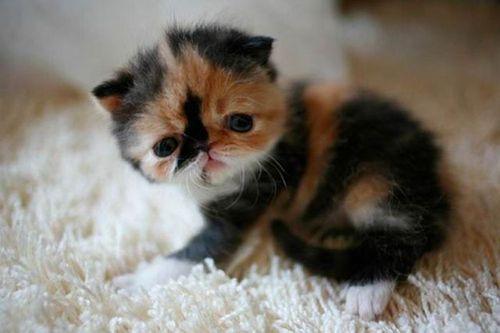 ぶさかわいい猫13