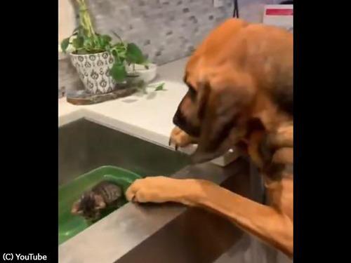 子猫を見た犬の反応が可愛すぎ00
