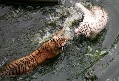 虎vsホワイトタイガー04