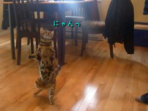 芸をするベンガル猫