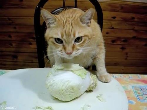 キャベツをむしゃむしゃ食べる猫04