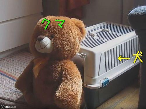 クマのぬいぐるみと一緒じゃないと昼寝をしない犬00