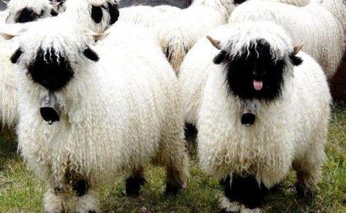 世界一かわいい羊04