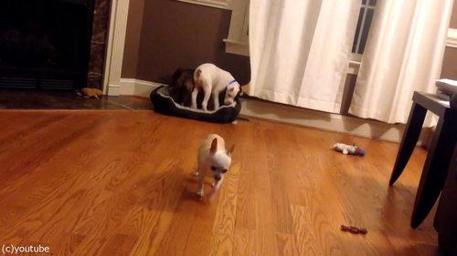 犬2匹がベッドの追い出しに成功08