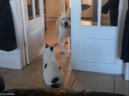 猫が怖くて通れない犬03