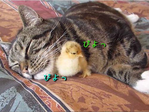 猫とひよこ00