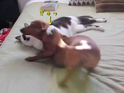わんぱくな犬を寝かしつける猫00