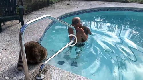 プールを泳ぐアライグマ01