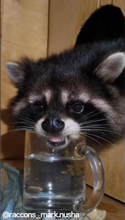 水を飲むとき…個性的なお顔になってしまうアライグマ02