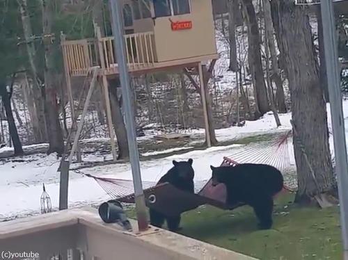 熊にハンモックは難しい01